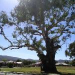 Un'albero gigante in Myrtleford