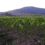 Mc Lees Tobacco's Farm