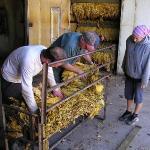 Mc Lees Tobacco's Farm - Harry, Kevin & Ele