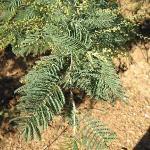 Una strana pianta Australiana