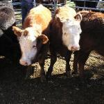 Il mercato delle Mucche